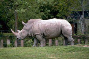 Però il rinoceronte ha il freno a mano